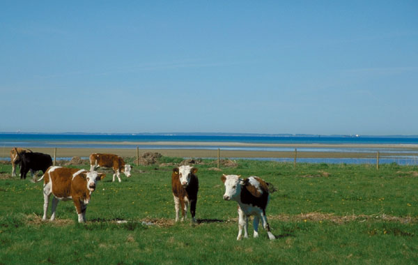Those are actually some of my cows, believe it or not :-) Across the strait you see Denmark.